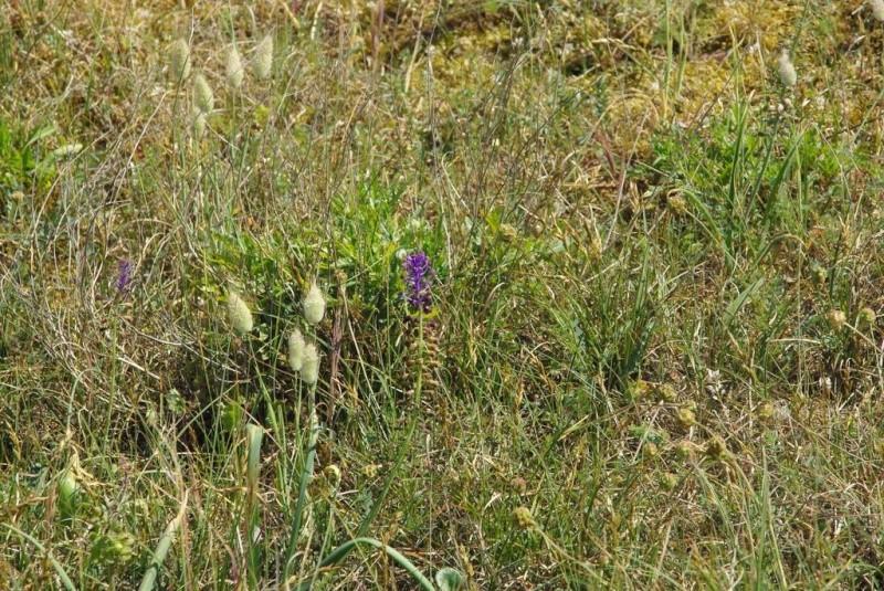 Plantes des dunes (Leotondon, Otanthus, Jasione, Muscari) Une_mu10
