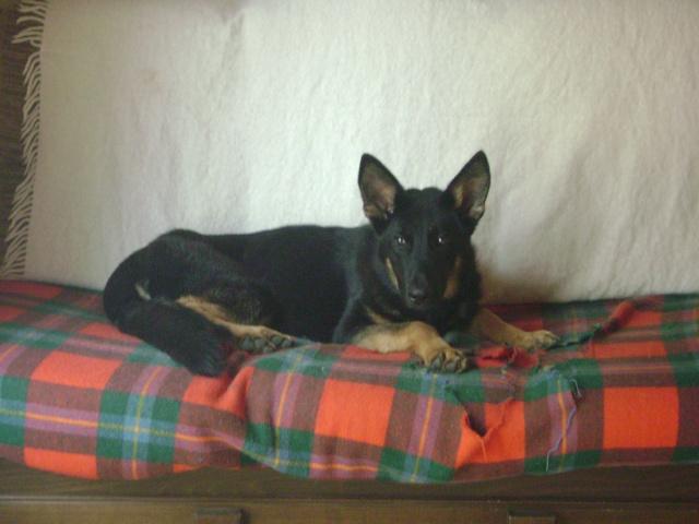 KURT mâle berger allemand 9 ans (Dysplasique) Dsc02514