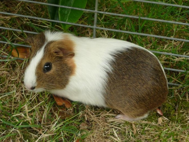 1 femelle cochon d'inde Chon_f10