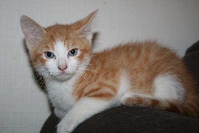 DALI - 2 mois - Mâle tigré roux et blanc Dali10