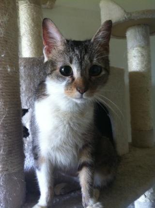 EOLIA - 2 ans - Femelle tigrée grise et blanche Eolia10