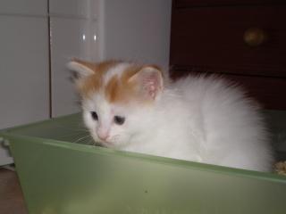 GOOGLE - 1 mois - Mâle blanc & tâches rousses angora Imgp0511