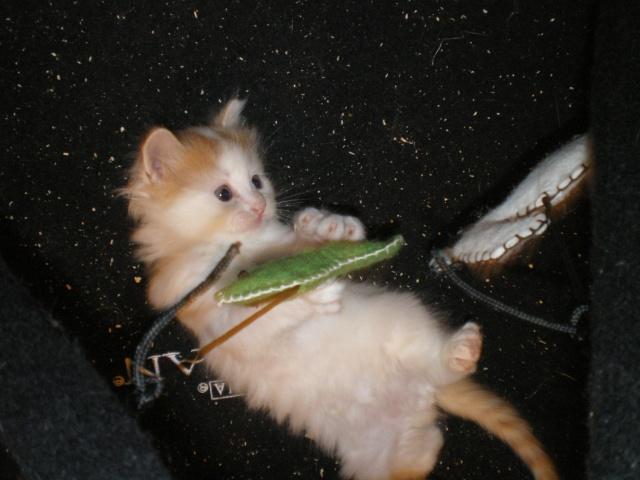 GOOGLE - 1 mois - Mâle blanc & tâches rousses angora Imgp0613