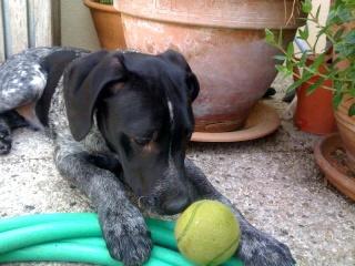 PONGO - 4,5 mois - Mâle croisé chien de chasse noir truité et blanc Nico_311