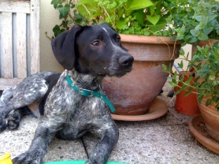 PONGO - 4,5 mois - Mâle croisé chien de chasse noir truité et blanc Nico_410