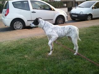 PERDITA - 8 mois - Femelle croisée chien de chasse blanche & tâches noires Photo_22