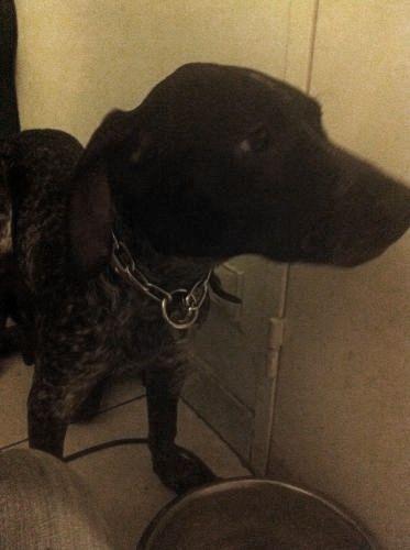 PONGO - 4,5 mois - Mâle croisé chien de chasse noir truité et blanc Pongo_11