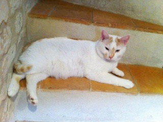 Pour Pulco, un chat blanc tacheté roux de 3 ans - cherche sa propre FA Pulco_11