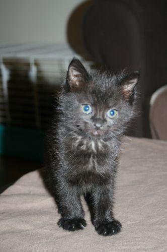 REGLISSE - 1,5 mois - Femelle noire Raglis10