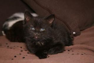 REGLISSE - 1,5 mois - Femelle noire Raglis11