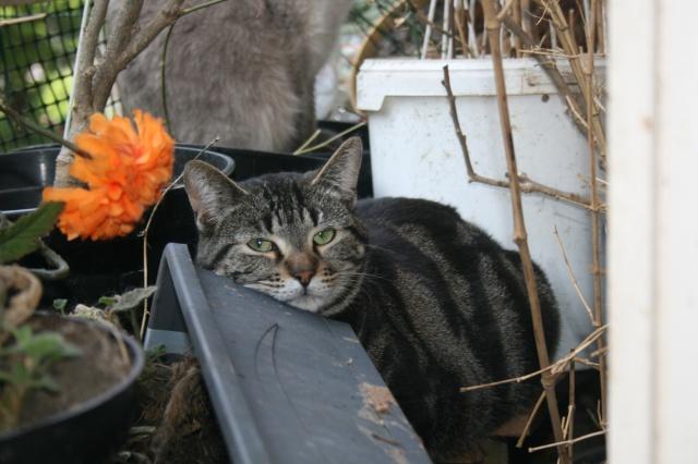 Pour un chat marbré gris adulte - Urgent - actuellement à Vincennes Rumba10