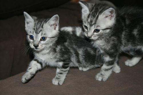 SAYAN - 1,5 mois - Mâle tigré gris Sayan_10