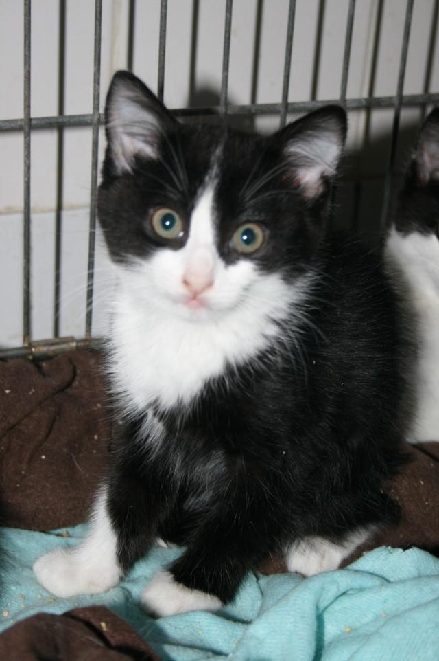 TWIX - 2 mois - Mâle noir et blanc Twix10