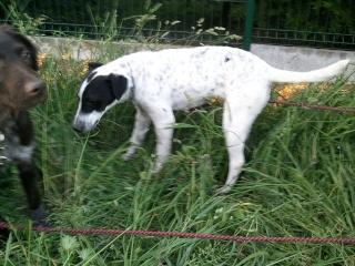 PERDITA - 8 mois - Femelle croisée chien de chasse blanche & tâches noires Wp_00019