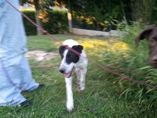 PERDITA - 8 mois - Femelle croisée chien de chasse blanche & tâches noires Wp_00020