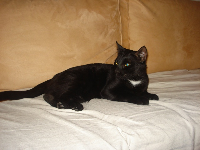 ZAPPY - 2,5 ans - Mâle noir au collier blanc Zappy-10