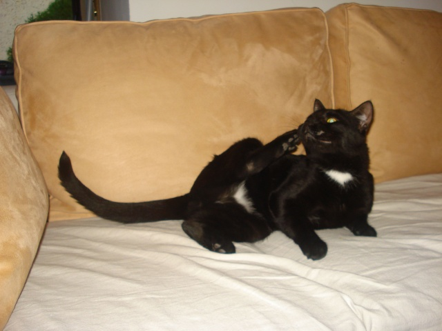 ZAPPY - 2,5 ans - Mâle noir au collier blanc Zappy110
