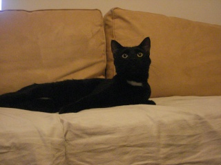 ZAPPY - 2,5 ans - Mâle noir au collier blanc Zappy311