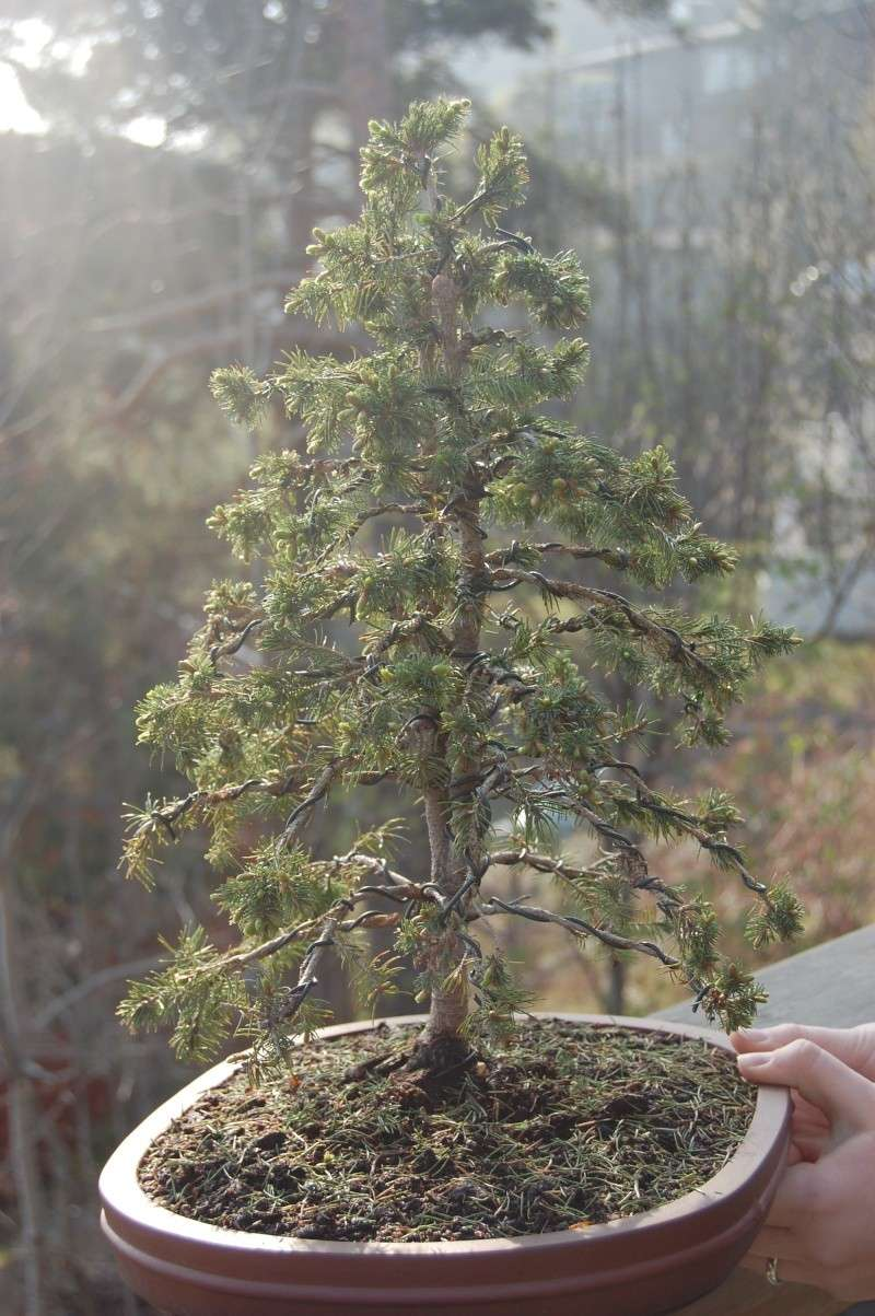 """Young Spruce """"restyling"""" Dsc_0414"""