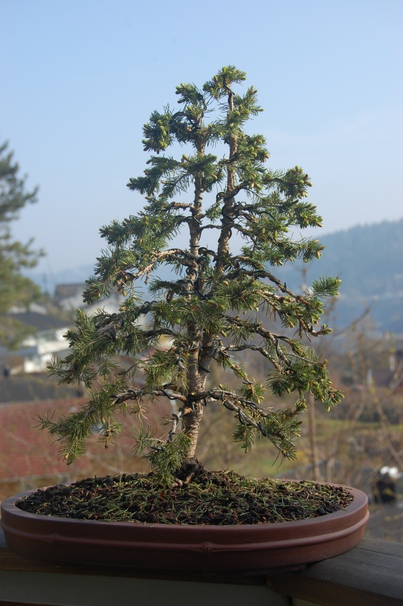 """Young Spruce """"restyling"""" Dsc_0415"""