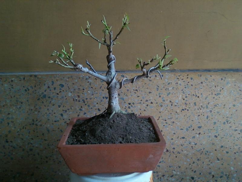 tropical bonsai plants - Page 2 5cm10