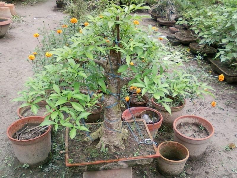 tropical bonsai plants - Page 2 Spm_a011