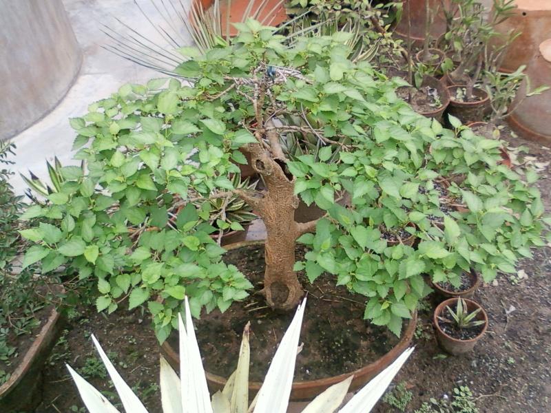 tropical bonsai plants - Page 2 Spm_a014