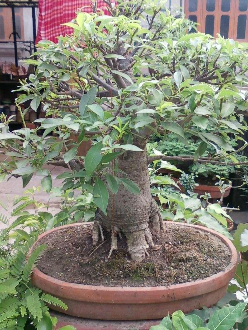 tropical bonsai plants - Page 2 Spm_a015