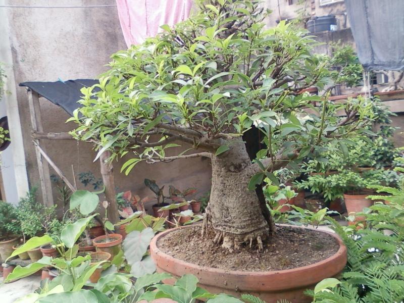 tropical bonsai plants - Page 2 Spm_a018