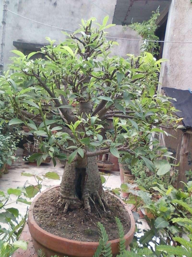 tropical bonsai plants - Page 2 Spm_a019