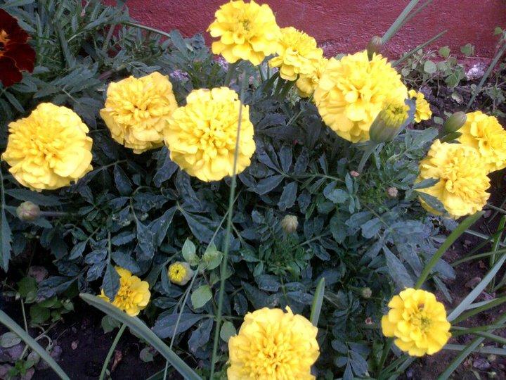 Oeillets orange/jaune 45693_12