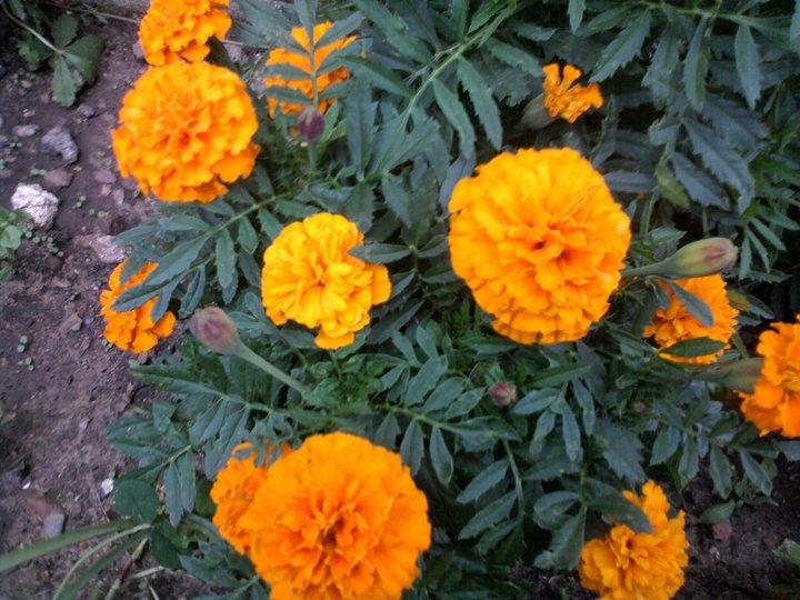 Oeillets orange/jaune 46002_10