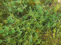 algue 250px-10