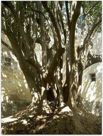 L'arbre centenaire et sacré de notre ville 39448010
