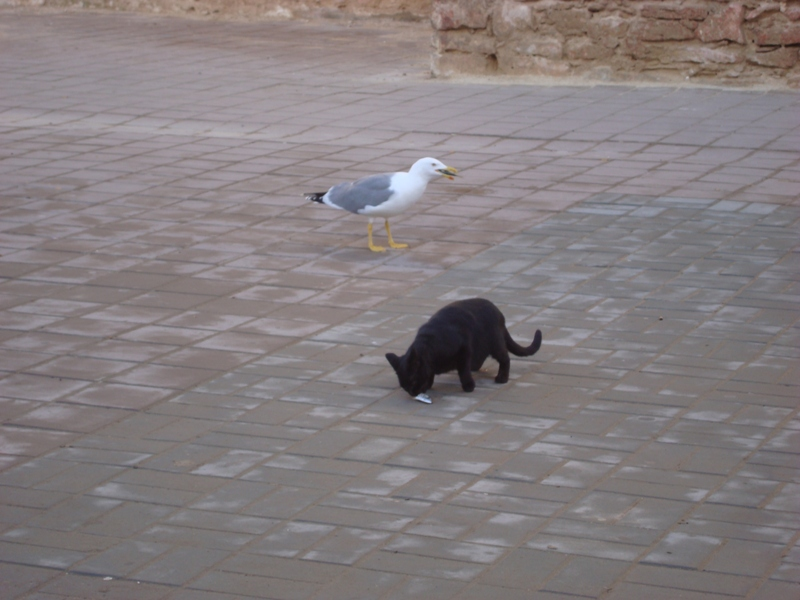 La vie des chats en hospitalité à Essaouira.حياة ألقطط في ضيافة ألصويرة Dsc07514
