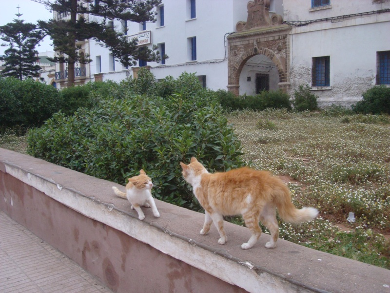 La vie des chats en hospitalité à Essaouira.حياة ألقطط في ضيافة ألصويرة Dsc08031