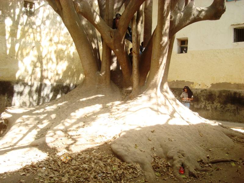 L'arbre centenaire et sacré de notre ville Dsc08133