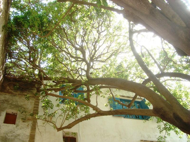L'arbre centenaire et sacré de notre ville Dsc08134