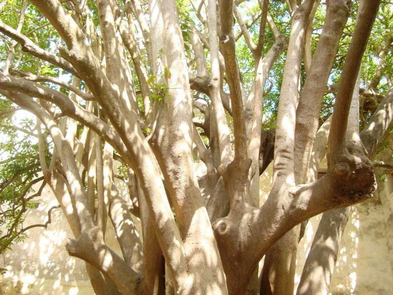 L'arbre centenaire et sacré de notre ville Dsc08135