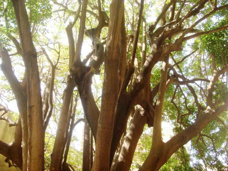 L'arbre centenaire et sacré de notre ville Dsc08136