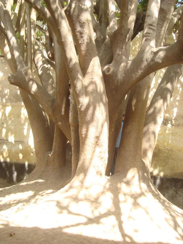 L'arbre centenaire et sacré de notre ville Dsc08137