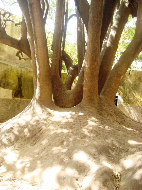 L'arbre centenaire et sacré de notre ville Dsc08138