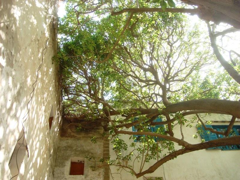 L'arbre centenaire et sacré de notre ville Dsc08139