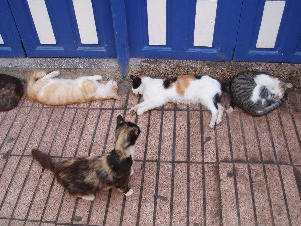 La vie des chats en hospitalité à Essaouira.حياة ألقطط في ضيافة ألصويرة N1408312