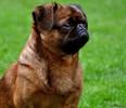 amis canins disparus,le forum des chiens perdus et trouvés Braban10