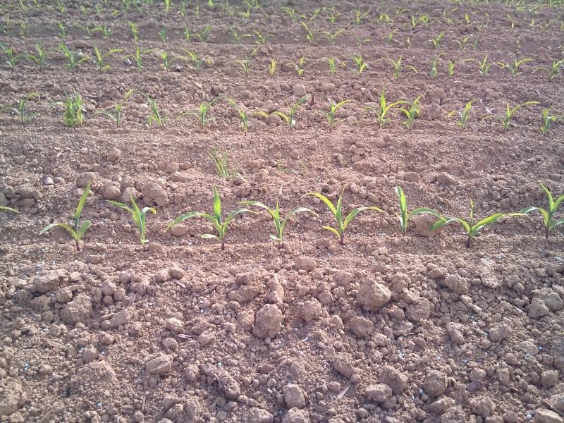 Maïs avec ou sans DAP ?? Dsc_0113