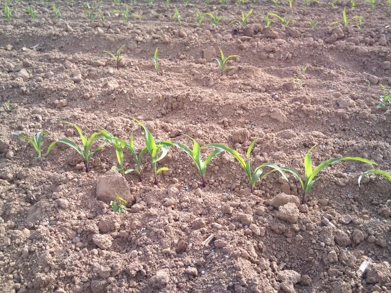 Maïs avec ou sans DAP ?? Dsc_0114
