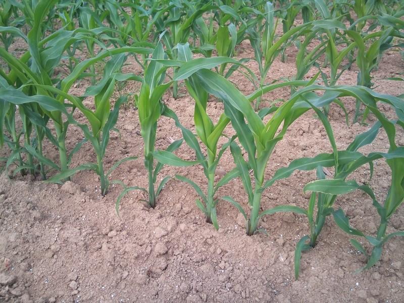 Maïs avec ou sans DAP ?? Dsc_0121