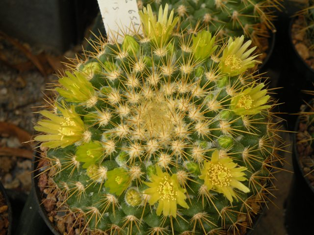 The Mammillaria Society Seeds distribution 2007 Canele11