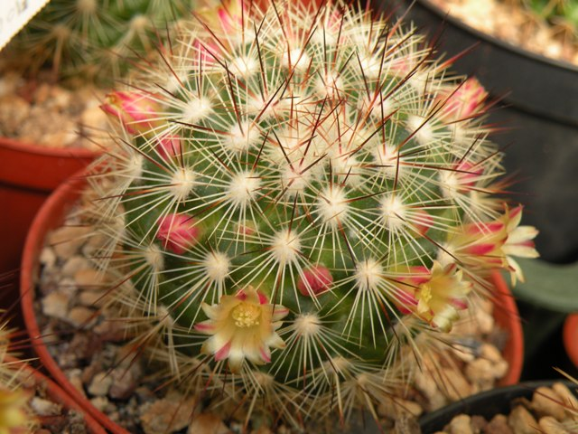 The Mammillaria Society Seeds distribution 2007 Densis10